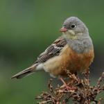 L'ortolan, petit oiseau migrateur