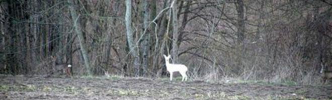 chevreuil blanc en lisière de forêt