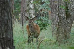 Cerf en forêt - Photo : Thibault Bouvier