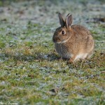 Photo d'un lapin de garenne