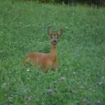 Vidéo de chasse à l'approche d'une chevrette et de ses petits