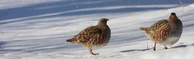 perdrix grises dans la neige