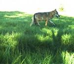 Photo prise par les agents de l'ONCFS d'un loup dans la Meuse