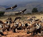 Des vautours attaquent un veau à Loubieng