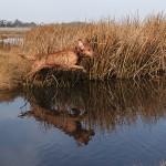 Un chien de chasse saute dans une rivière