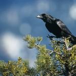 Corbeau posé sur une branche