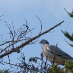 Palombe posée dans les arbres