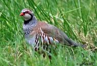 Une perdrix rouge dans un champ