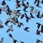 Un vol de palombes dans le ciel