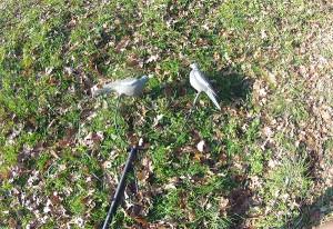Perchoir du mât à pigeon ducatillon