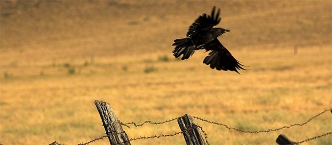 corbeau en vol