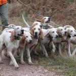 chasser le chevreuil avec des chiens courant