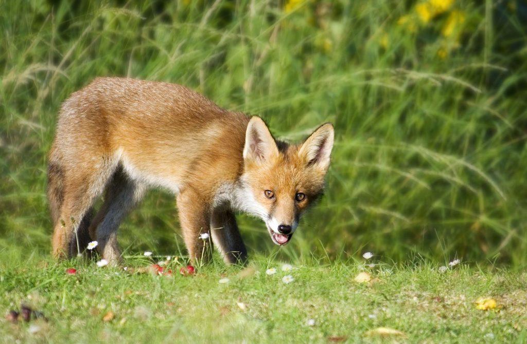 tir du renard en été