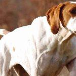 chien de chasse pointer