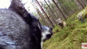 Deux loups attaquent un chien de chasse