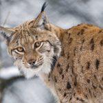 Lynx truffé de plombs dans le Doubs