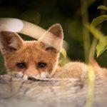 Un renard se laisse prendre en photo