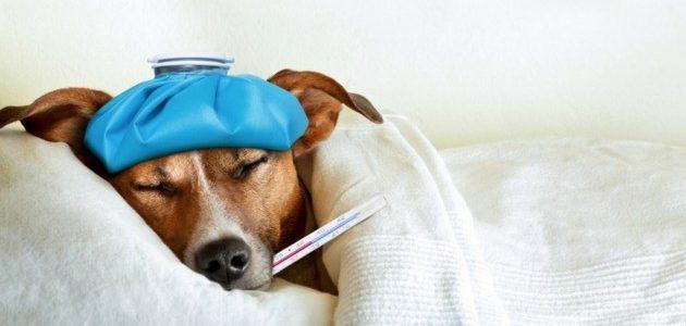 Un chien de chasse qui est malade