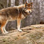 L'état des populations des loups hybrides en France