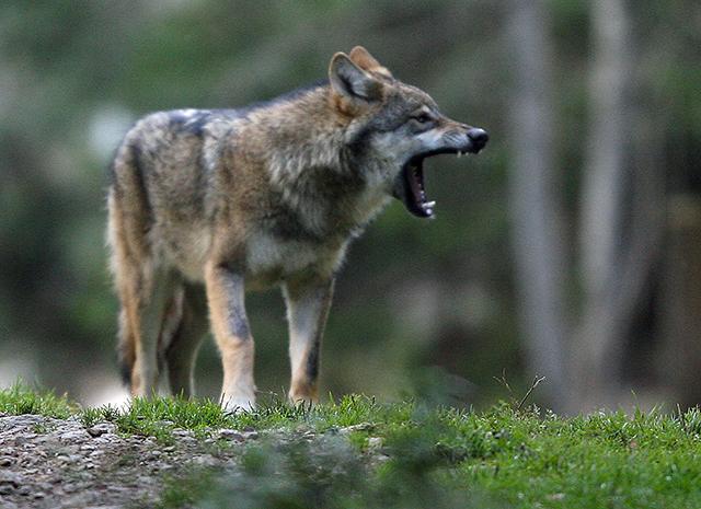 Bientôt des résultats sur le niveau d'hybridation des loups sur notre territoire