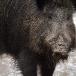 Pologne : congés et primes pour les chasseurs de sanglier