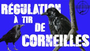 Tirs de régulation de corneilles en vidéo