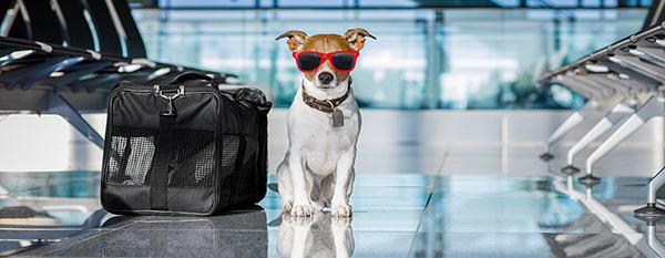 Vacciner son chien de chasse avant de prendre l'avion pour un séjour à l'étranger