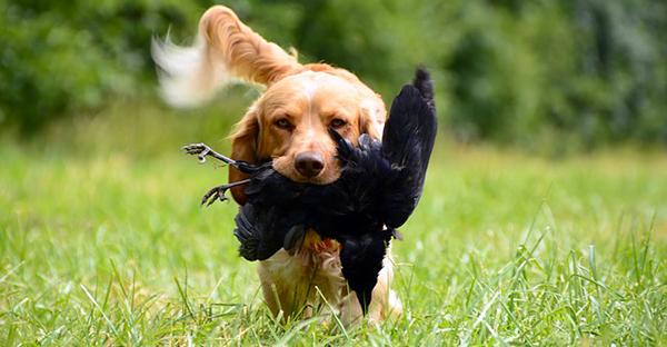 Un chien retriever ramène une corneille dans sa gueule