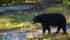 Chasse à l'ours au Québec