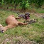 Recherche d'un chevreuil avec un chien de sang