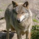 Meute de loups sur autoroute en Russie
