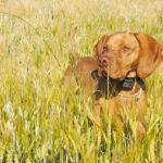 Faut-il utiliser les colliers de dressage dans l'éducation du chien ?
