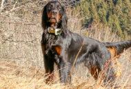 Un chien de chasse équipé d'un collier GPS pour le suivre en temps réel